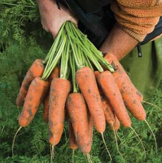 Семена моркови Кардифф F1, Bejo 1 000 000 семян (1.8-2.0)