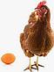 Инкубационное яйцо  Браун Ник, фото 2