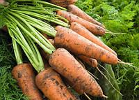 Профессиональные семена моркови Кесена F1, Bejo Семена Крупная фасовка 1 000 000 семян (2.2-2.4)