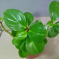 Горшечное растение суккуленты микс Peperomia