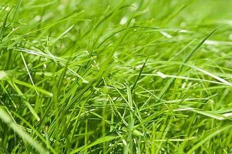 Райграс газонний багаторічний Генрієтта 1 кг Україна