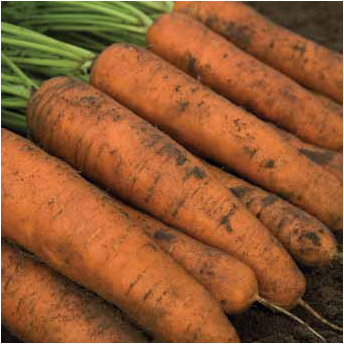 Семена моркови Белградо F1, Bejo 1 000 000 семян (1.6-1.8) | профессиональные
