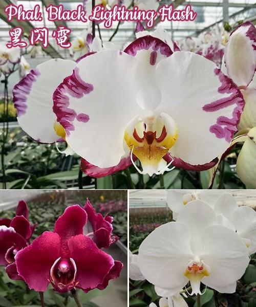 """Орхидея. Сорт Black Lightning Flash (Color instability), размер 2.5"""" без цветов"""