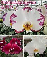 """Орхидея подросток. Сорт Black Lightning Flash (Color instability), размер 1.7"""" без цветов"""