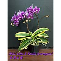"Орхидея. Сорт Phal. Chia E Yenlin (variegata) , горшок 3.5"" без цветов, фото 1"