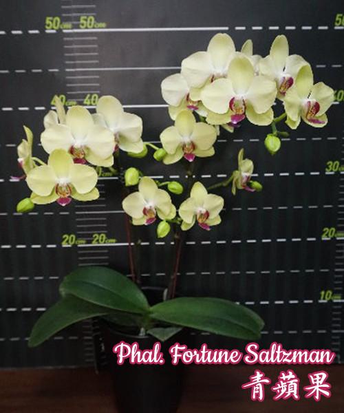 """Орхидея подростки Сорт Fortune Saltzman горшок 2.5"""" без цветов"""