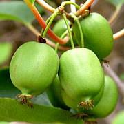 Саженец актинидии аргута СЕНТЯБРЬСКАЯ (Sentyabraskaya) - зеленый, морозостойкий, 1-летний