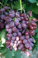 Саженцы и черенки винограда Виктория