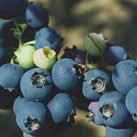3-річка Бригіта Блю(Brigitta Blue) , фото 1