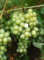 Саженцы и черенки винограда Кеша-1 (Восторг улучшенный)
