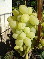 Саженцы и черенки винограда Лора (Флора)