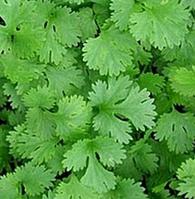 Семена кориандра Карибе, Bejo 50 грамм | профессиональные