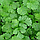 Семена кориандра Карибе, Bejo 500 грамм | профессиональные, фото 2