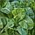 Шпинат гибридный сорт Спирос F1 Для выращивания круглый год, для вакуумной упаковки, семена Bejo 50 000 семян, фото 3