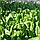 Шпинат гибридный сорт Спирос F1 Для выращивания круглый год, для вакуумной упаковки, семена Bejo 50 000 семян, фото 4
