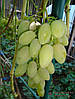 Саженцы и черенки винограда Тимур