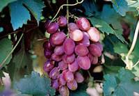 Саженцы и черенки винограда Юбилей херсонского «Дачника»