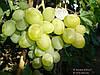 Саженцы и черенки винограда Подарок Запорожью