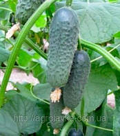 Семена Огурца АКИЛИНА F1  500 семян Nunhems