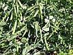 Горох Тиара, 20 шт, Садыба Центр, фото 4
