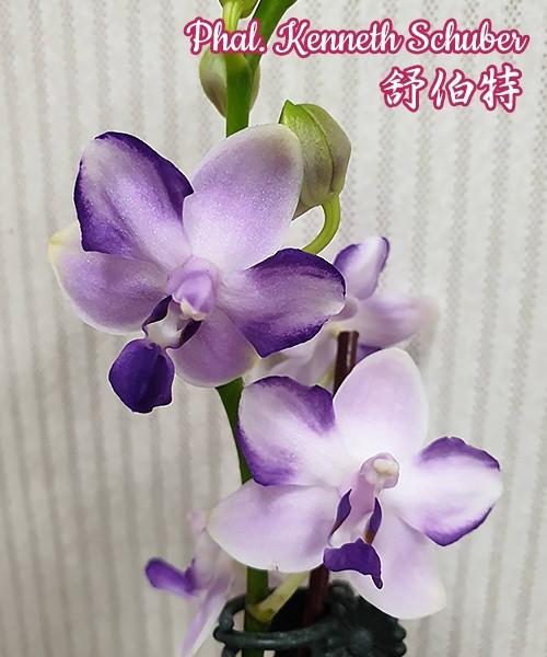 """Орхидея Kenneth Schubert, горшок 2.5"""" без цветов"""