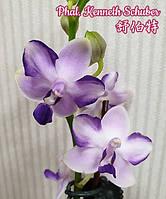 """Уценка мех травмы Орхидея подростки, сорт Kenneth Schubert, горшок 1.7"""" без цветов, фото 1"""