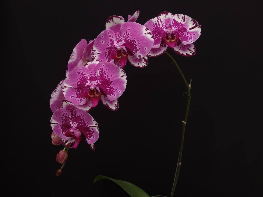 """Орхидея. Сорт Phal. Red Lion 1668, горшок 2.5"""", без цветов"""