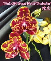 """Уценка, маленькие растения. Орхидея подростки, сорт GW Green world Snakeskin, горшок 1.7"""" без цветов"""