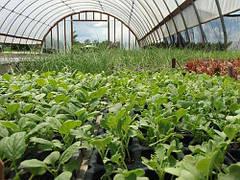 Как правильно организовать выращивание редиса в зимней теплице