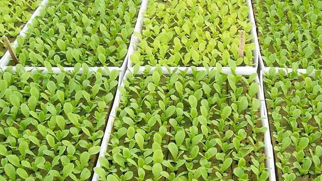 Выращивание в теплице редиса
