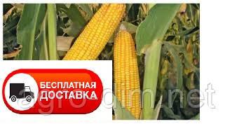 Семена кукурузы ДН Галатея