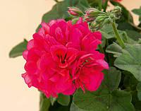 Пеларгония Плющелистная Royal Hot Pink
