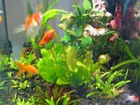 Аквариум с живыми растениями (крановая вода)
