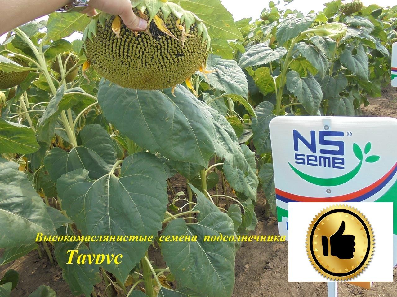 Семена подсолнечника Таурус Высокомасличные A-E