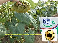 Семена подсолнечника Таурус Высокомасличные A-E, фото 1