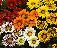 Семена Газания Биг Кисс F1 (Фасовка: 100 шт; Цвет: смесь), фото 1