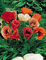Семена Мак Виктория (Фасовка: 0,1 г; Цвет: смесь)