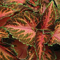 Семена Колеус Визард  (Фасовка: 100 шт; Цвет: коралл санрайз), фото 1