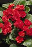 Семена Примула Примлет F1 (Фасовка: 100 шт; Цвет: красный)