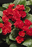 Семена Примула Примлет F1 (Фасовка: 100 шт; Цвет: красный), фото 1
