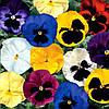 Семена Виола Дельта F1 (Фасовка: 100 шт; Цвет: смесь)