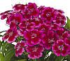 Семена Гвоздика Барбарини F1 (Фасовка: 100 шт; Цвет: красно-розовый)