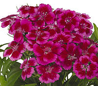 Семена Гвоздика Барбарини F1 (Фасовка: 100 шт; Цвет: красно-розовый), фото 1
