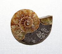 Аммонит, фото 1