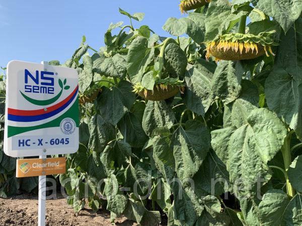 Семена подсолнечника НС-Х-6045 (A-G+), фото 2