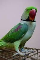 Александриец Александрийский попугай (лат. Psittacula eupatria).