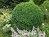 Самшит вечнозеленый h=30см, фото 2