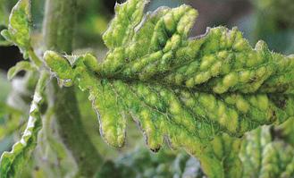 X-вірус картоплі на томаті