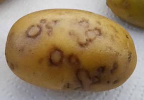 Y-вірус картоплі (PVY)