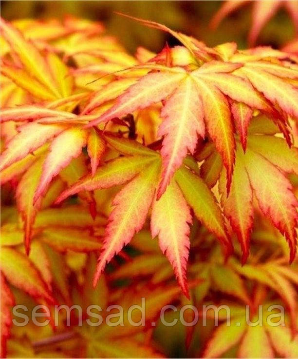 Клен пальмолистный Оранж Дрим \ Acer palmatum  Orange Dream  ( саженцы 2 года р9 )